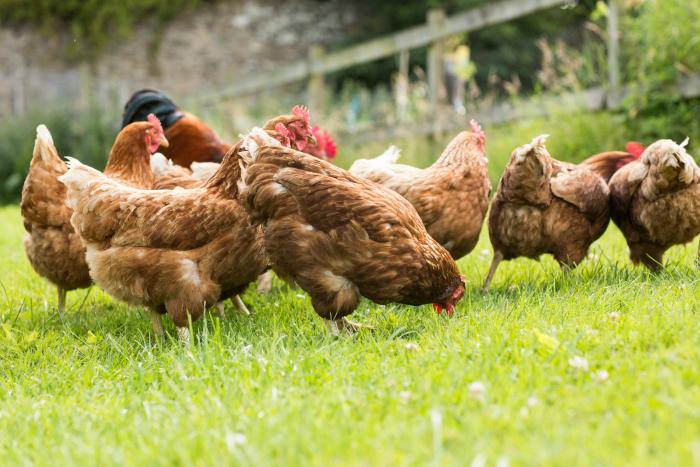 Mack Land LLC - Chickens in the Garden