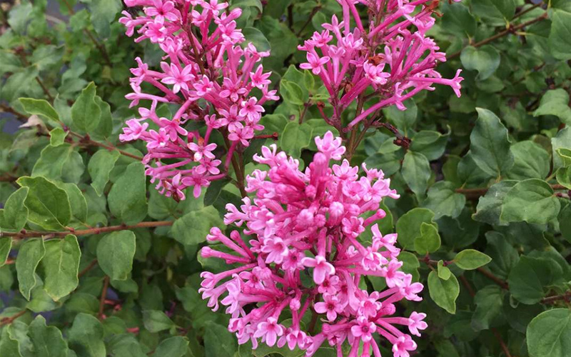 Mack Land LLC - New Deciduous Shrubs for 2019