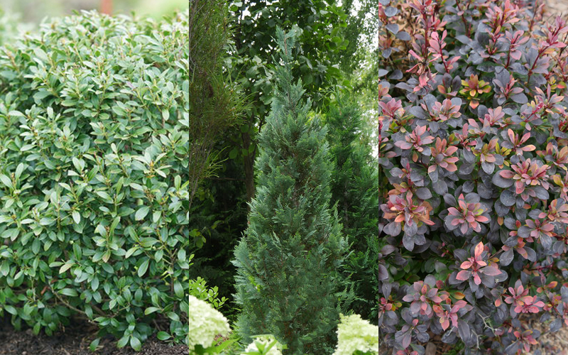Mack Land LLC - New Evergreen Shrubs for 2019